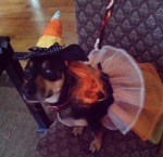 My sister's dog as a Candy Corn last Halloween